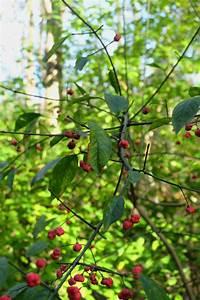 Strauch Mit Roten Beeren Im Winter : busch mit roten beeren ostseesuche com ~ Frokenaadalensverden.com Haus und Dekorationen