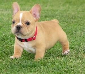 french bulldog teacup | Cute | Pinterest | Puppys, Chang'e ...