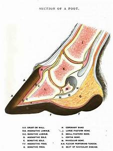 Basic Horse Hoof Anatomy Drawing