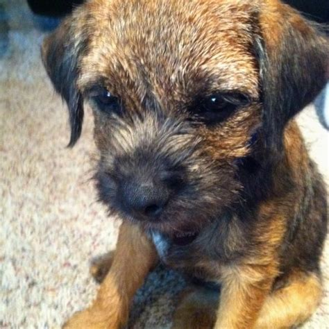 Border Terrier Non Shedding by Best 25 Border Terrier Ideas On Border