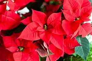 Weihnachtsstern Pflanze Kaufen : weihnachtsstern euphorbia pulcherrima pflege tipps ~ Michelbontemps.com Haus und Dekorationen