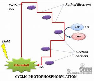 Cyclic Vs Noncyclic Phosphorylation