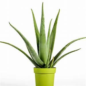 Plantes Exotiques D Intérieur : aloe vera x10 graines ravissant jardin ~ Melissatoandfro.com Idées de Décoration