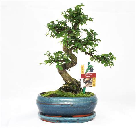 chinesische ulme bonsai bonsai chinesische ulme ulmus parviflora ca 8 jahre ebay