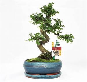 Chinesische Ulme Bonsai. chinesische ulme ulmus parvifolia als ...