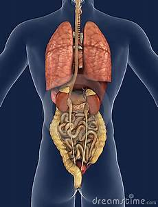 Internal Organs Of The Human Body Anatomical Chart Internal Organs Back View Royalty Free Stock Image Image