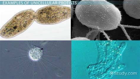 examples  unicellular protists video lesson