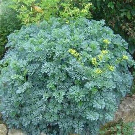rue plants rue ruta graveolens seeds grass seeds 20pcs medicinal plant insecticide efficacy free shipping