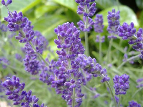 planting lavender english lavender cdjb