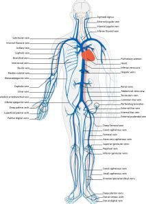 venous system en clip art  clkercom vector clip art