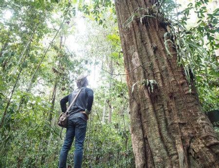 pohon ulin terbesar  dunia   taman nasional kutai