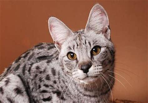 Price Of A Savannah Cat