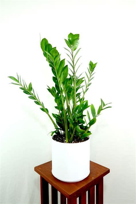 Extra Large ZZ Plant - SHIPS FREE - (Zamioculcas ...