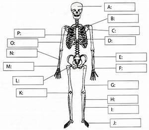 Musculoskeletal system diagram / Skeletal system diagram