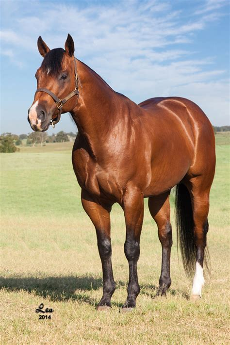 horse cloning cloned pure tailor inside equine blake quarter web taylor dr russell stallion owned