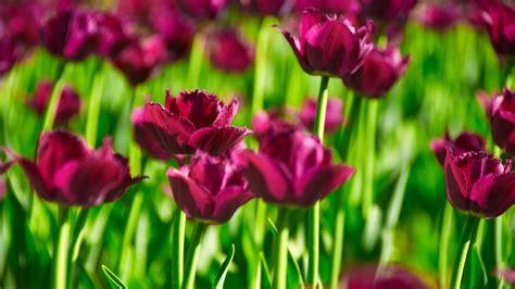 nature flowers tulips hd desktop wallpapers  hd
