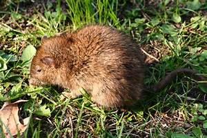 Unterschied Maus Ratte : wanderratten ~ Lizthompson.info Haus und Dekorationen