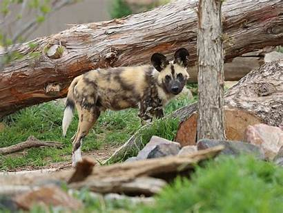 Wild Dog African Zoo Animals Denver
