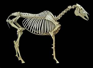 Horse Skeleton Photograph By Natural History Museum  London