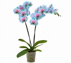Rosen Im Topf Pflege : pflege orchideen im topf orchideen im topf h30cm wei rosa ~ Lizthompson.info Haus und Dekorationen