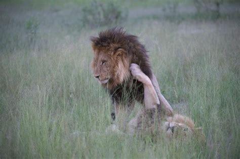 Será Que São Dois Leões Machos Transando