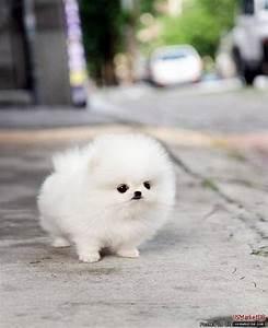 White Mini Pom