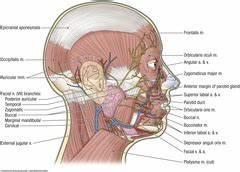 Anatomy - 56 - Temporal Region and Parotid Gland ...