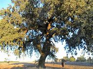King Oak Tree