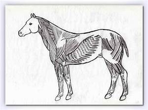 Equine Superficial Muscle Chart
