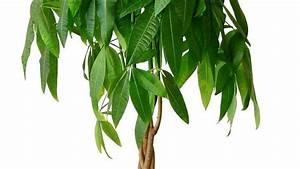 Plante Tropicale D Intérieur : pachira plantation entretien c t maison ~ Melissatoandfro.com Idées de Décoration