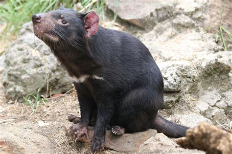 Read on to find out about this fierce little marsupial. Tasmanian Devil | The Biggest Animals Kingdom