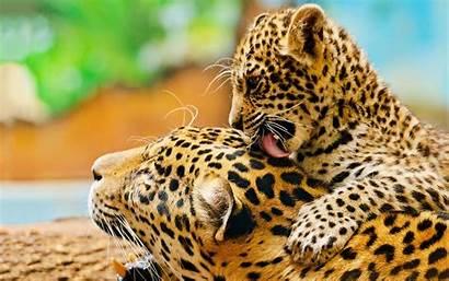 Leopard Wallpapers Desktop 4k