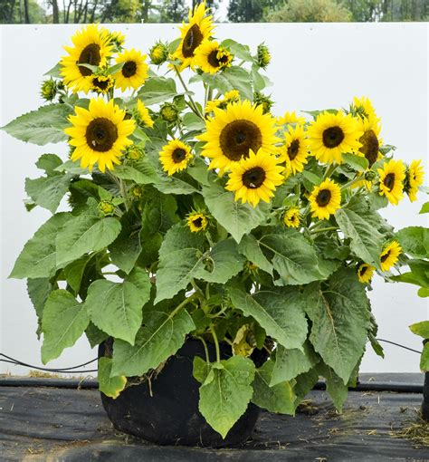 can i grow sunflowers in pots the best varieties for container gardening gardens alive