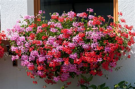 balkonplanten ga voor geranium ditjes datjes