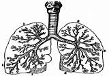 Lungs Outline Clipart Cliparts Coloring Clip Sheet Library Illustration sketch template