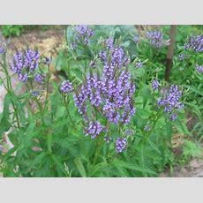 Blue Verbena (verbena Hastata) Seedplant  Kansas Native
