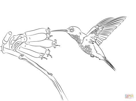 Hummingbird Coloring Page Free Printable Coloring Pages