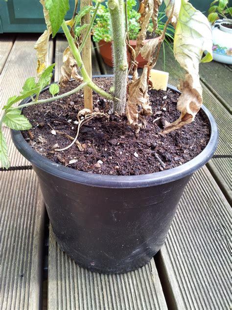 Tomaten Im Blumenkasten by Balkonernte Ein Balkong 228 Rtner Baut Gem 252 Se Auf Dem Balkon An