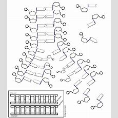 Dna  The Double Helix, Coloring Worksheet