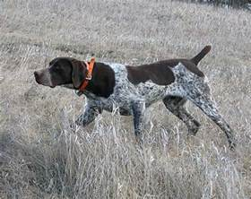 german shorthaired pointer pictures and photos gsp pics 1