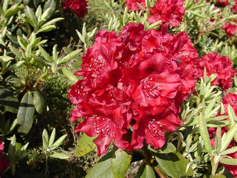 les rhododendrons pepinierelelann p 233 pini 232 res vente d arbustes plantes vertes en pot et plantes