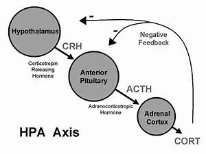 The Hpa Axis Hypothalamus-pituitary-adrenal