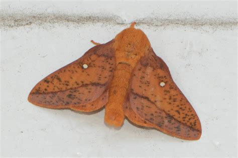 spiny oakworm moth anisota stigma