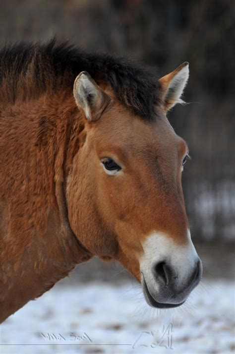 horse wild horses rare asian soul breed self breeds przewalski riding deviantart only care
