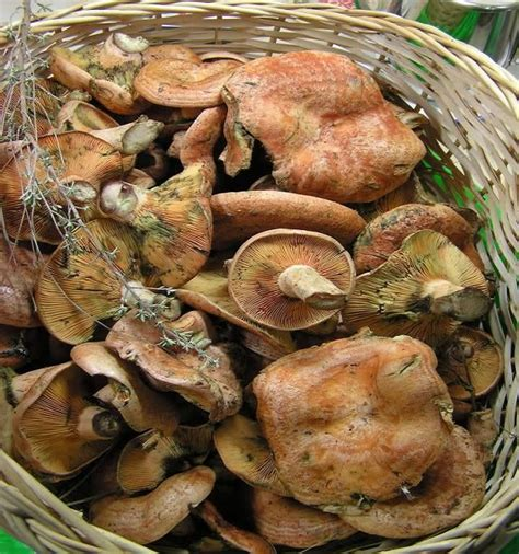 cuisiner les girolles bolets gt cepes differences champignons