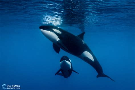 Facts About Orcas, Aka Killer Whales|underwater