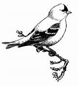 Goldfinch Coloring Eastern Pages Bird American Clipart Goldfinches Willow Printable Supercoloring Template Sketch Oiseau Clip Sketchite Cliparts Draw Crafts Library sketch template