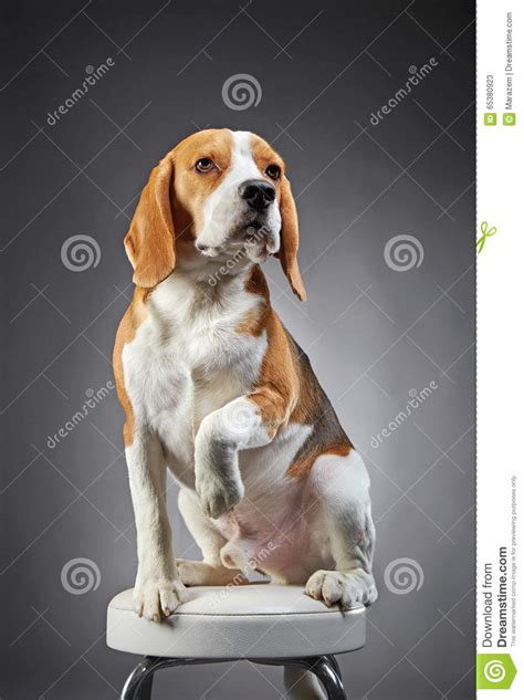 Bench Beagle by Beagle On Bench Royalty Free Stock Photography