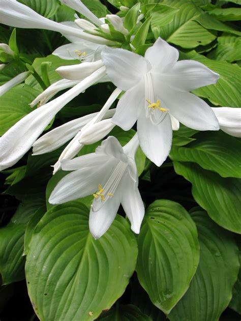 plantaginea august lily hosta hot house pinterest