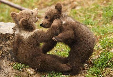 Himalayan Brown Bear Facts, Habitat, Population, Pictures